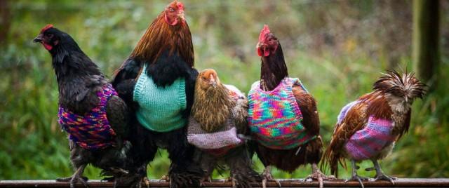 """alt=""""tricoter-chandails-poules"""""""