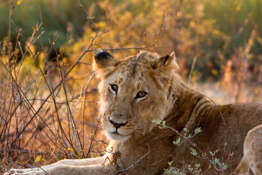 Lionne au parc Kruger. Photo: freestock.ca