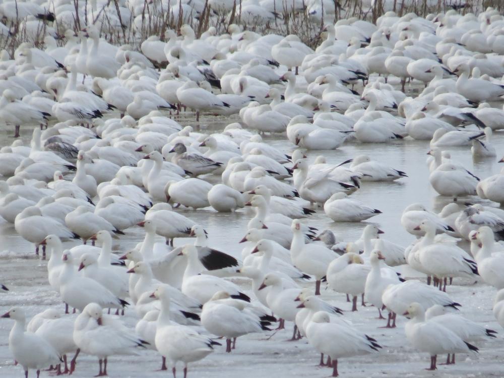 Oies blanches à Baie-du-Fèvre. Photo : Jean-Marie Van der Maren, Flickr