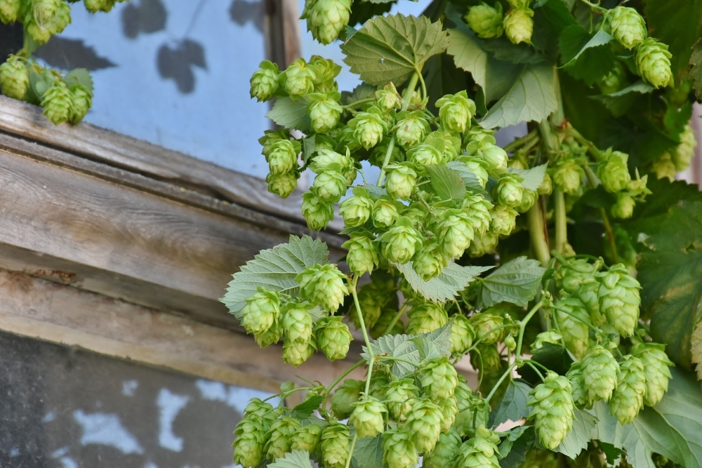 Houblon. Photo: Pixabay
