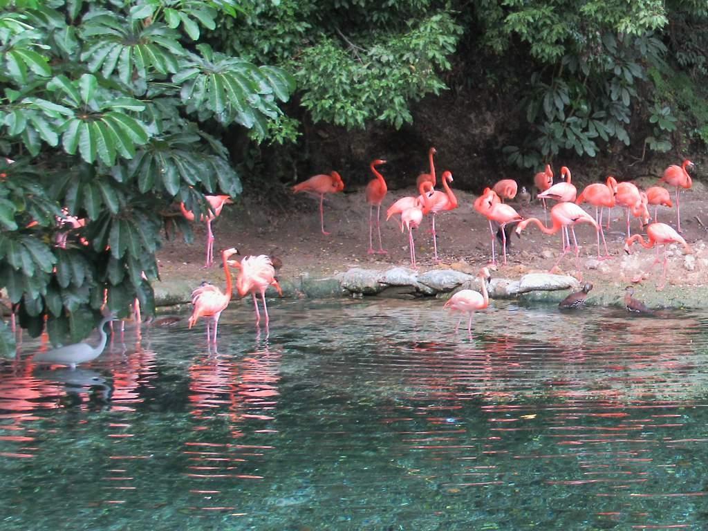 Des flamants roses au Parque Zoológico Nacional de Santo Domingo, République Dominicaine. Photo: David Stanley, Flickr