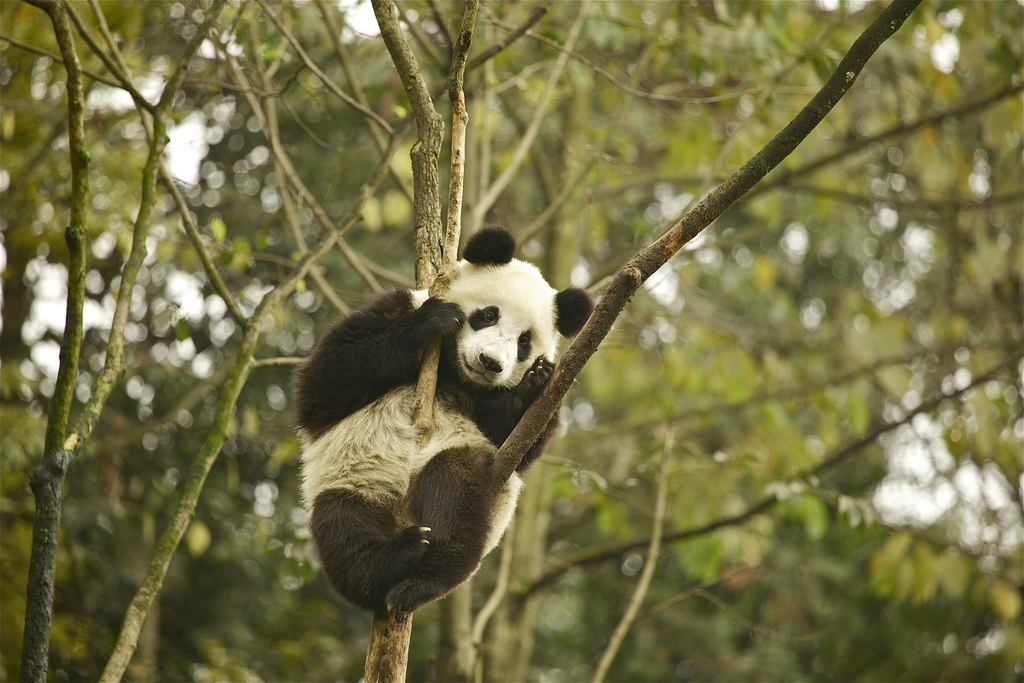 Bifengxia Panda Base, Sichuan, Chine. Photo: Martha de Jong-Lantink, Flickr