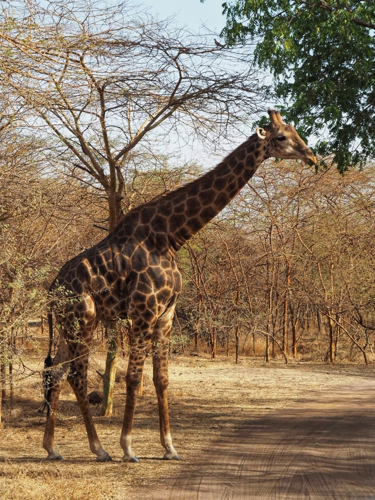 Une girafe de la Réserve de Bandia. Photo: Marie-Julie Gagnon