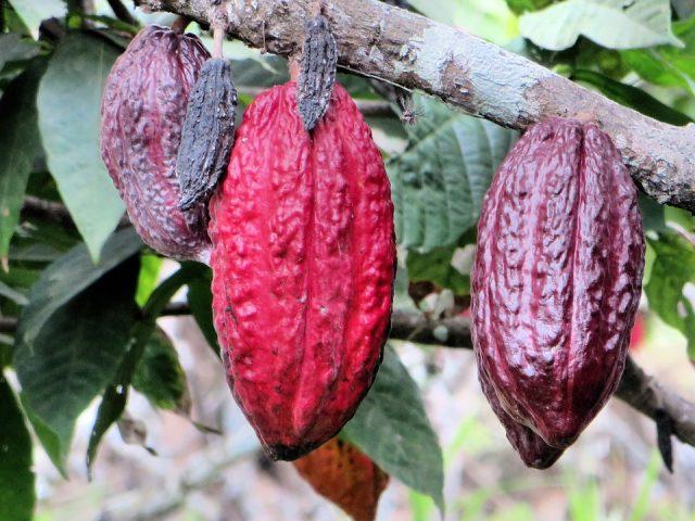 """alt=""""equateur-cacao"""""""