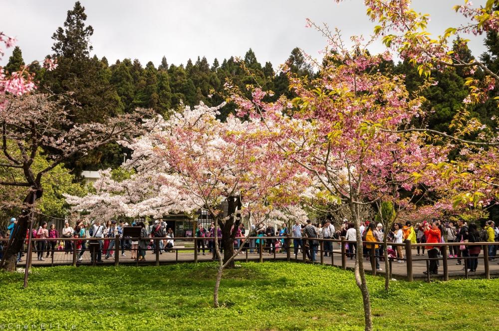 À Taiwan, des cerisiers en fleurs et... des touristes!  Photo: Flickr
